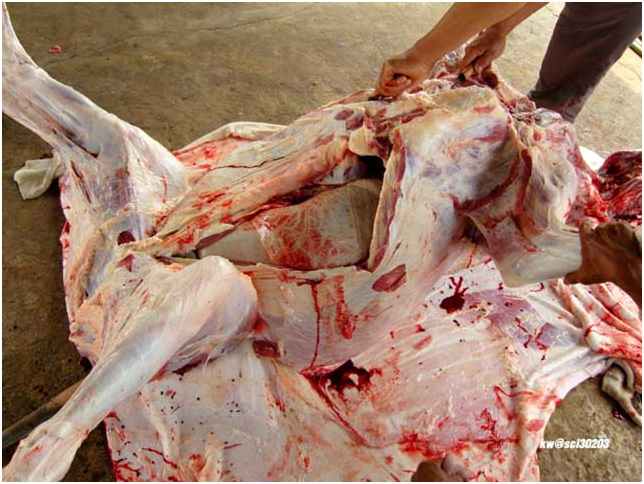 A cow gets extremely butchered.
