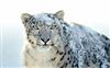 Apple's new Snow Leopard Wallpapers